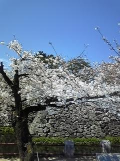 八分咲き。